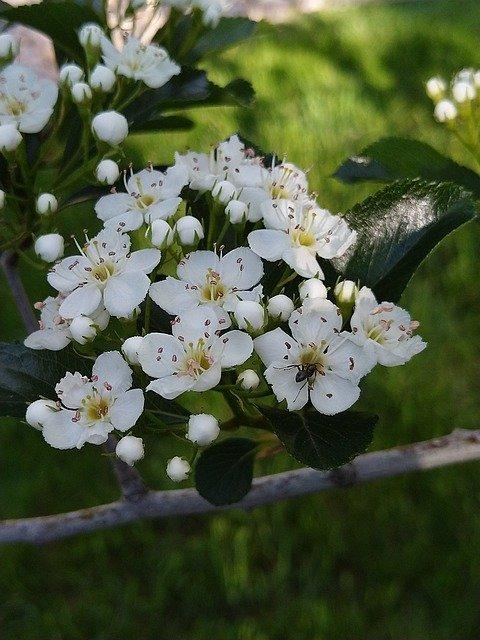 Цветы боярышника - ягоды, полезной и для мужчин, и для женщин