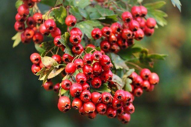 Свежие ягоды боярышника полезные свойства для мужчин и женщин